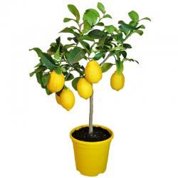Lemon tree Barcelona