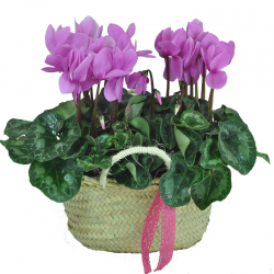 Cyclamen basket to Barcelona