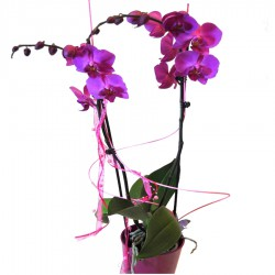 Phalaenopsis Barclona